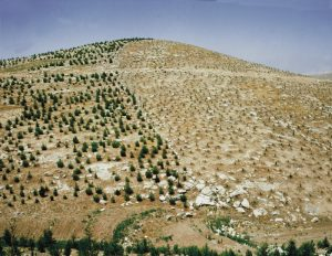New seedlings and new growth trees on Israeli desert hills