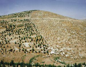 New seedlings and new growth trees on Israeli desert hills